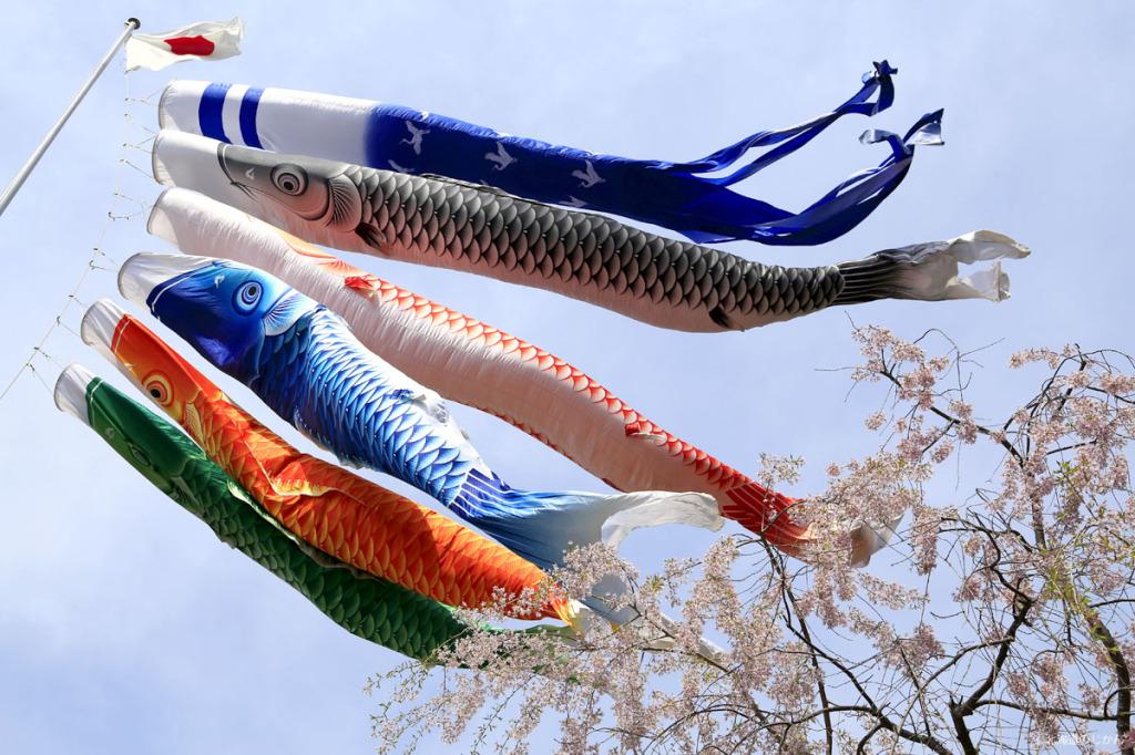 北海道神宮の鯉のぼり