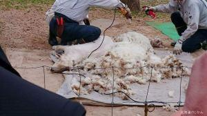 さっぽろ羊ヶ丘展望台の羊の毛刈り