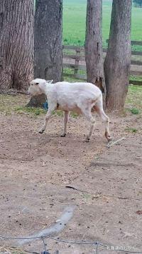 毛刈り後の羊